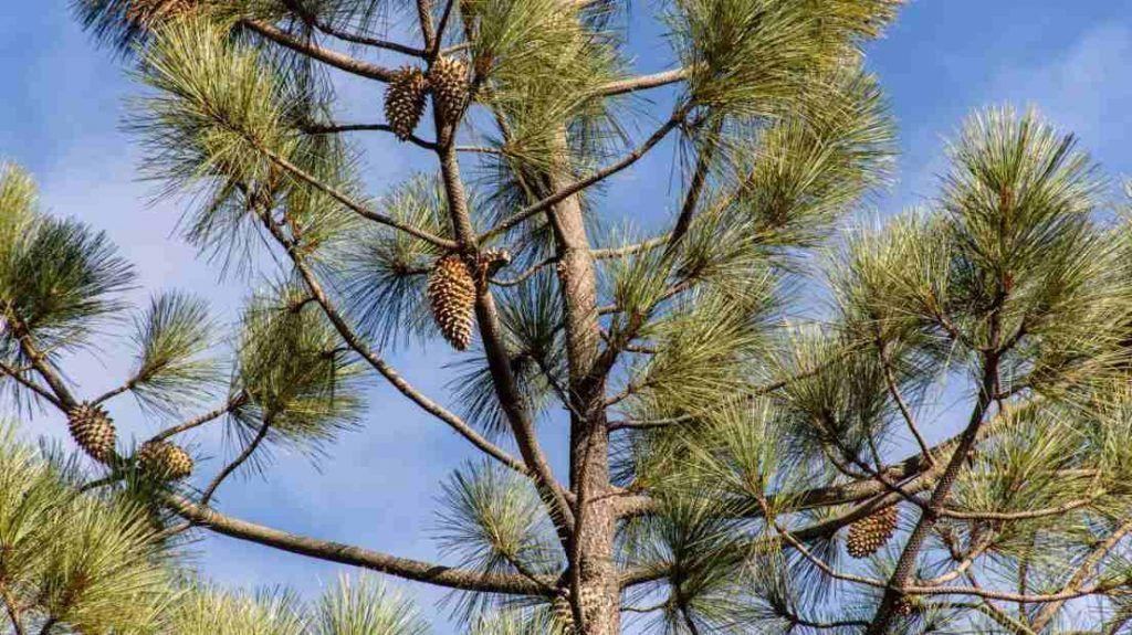 Existe gran variedad de terpenos como el pineno