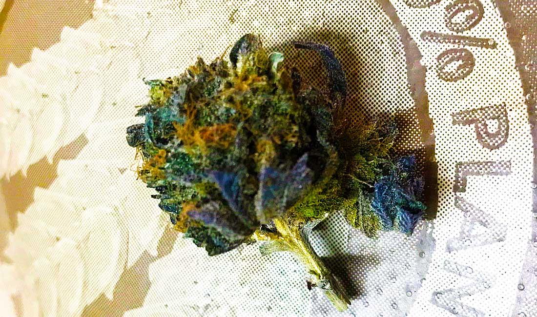 Los cogollos de la marihuana