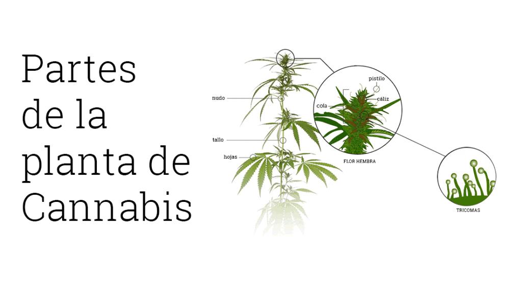 partes de la marihuana